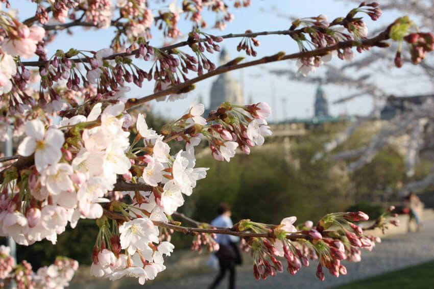 ドレスデンの桜